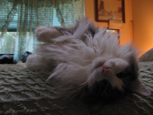 My deceased pet cat, a grey Maine Coon named Corky, rolling on his back on a bed.